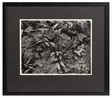 John Szarkowski (American, Born 1925) Black And White Silver Print: Plant Leaves