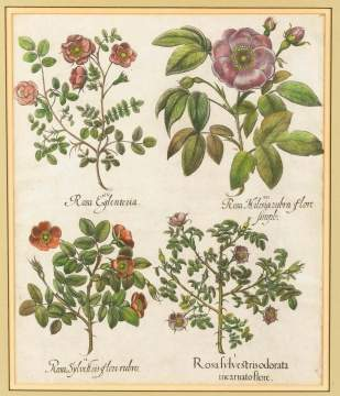 "Original Colored Dutch Engraving of ""Roses"" by Besler"